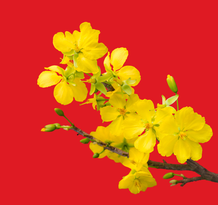 Blooming apricot branch with delicate yellow flowers, isolated on red gradient