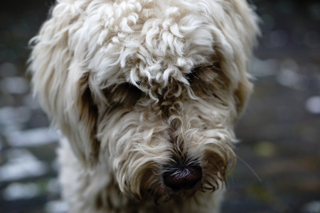 close up of a labradoodle lowering his head