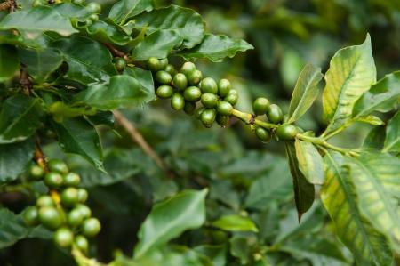 arabica: fresh arabica coffee leaf