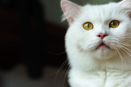 gaping: Shocked white fluffy cat gaping and staring