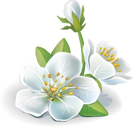 springtime: Cherry flower Illustration