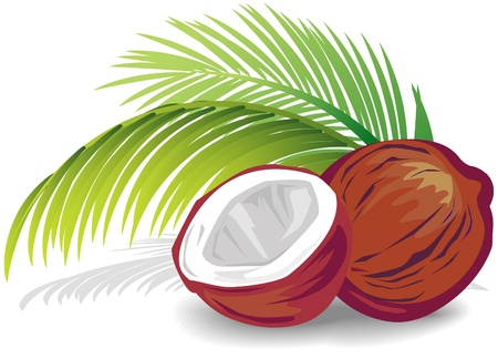 coconut palm: Coconut