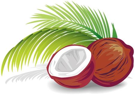 cocotier: Noix de coco Illustration