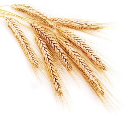 cultivo de trigo: Espigas de trigo sobre un fondo blanco Foto de archivo