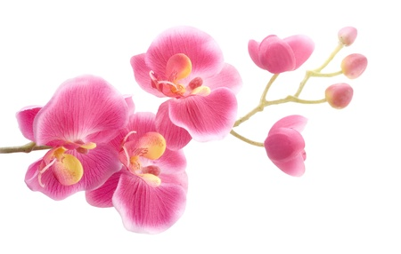 orchid branch: Pink orchid