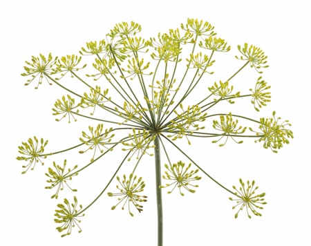 Flor de hinojo en el fondo blanco
