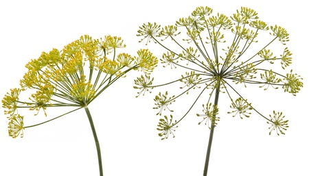 dill leaves: Fennel flower on white background