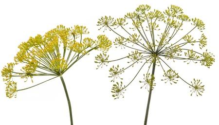 finocchio: Fiore di finocchio su sfondo bianco Archivio Fotografico