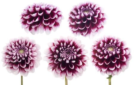 Purple dahlia photo