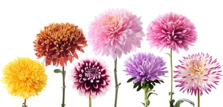 dalia: Conjunto de flores de dahlia Foto de archivo