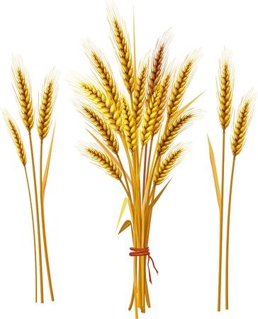 wheat harvest: Spiga di grano Vettoriali
