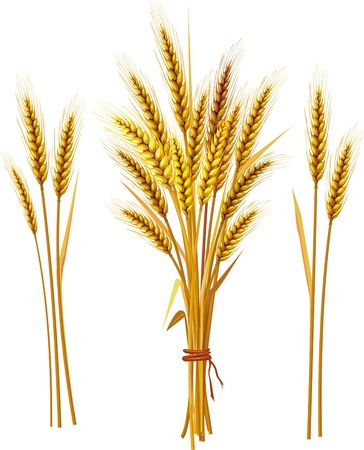 Spike of wheat Vector