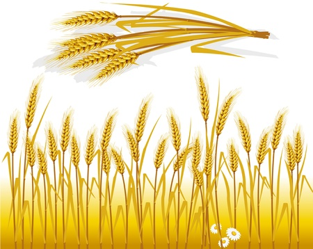 Wheat in the field and spike of wheat Stock Vector - 9716630