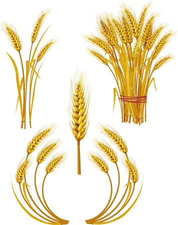 wheat crop: Trigo Vectores