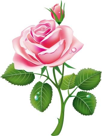 beautiful pink rose Stock Vector - 9716647