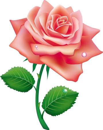 illustration of single rose Vector