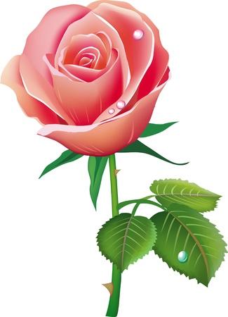 love rose: rosa Vectores