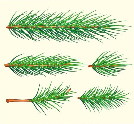 spruce: Rama de pino Vectores