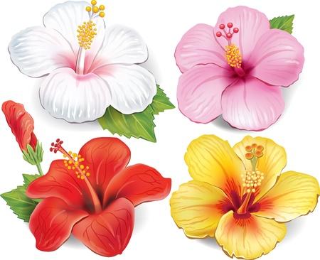 熱帯: ハイビスカスのセット  イラスト・ベクター素材