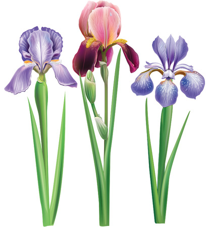 bearded iris: Flowers of iris Illustration