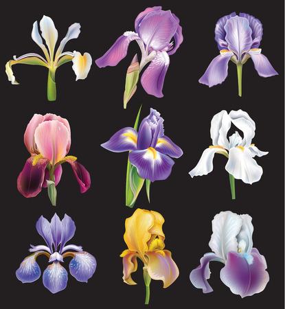 Set of Iris flowers Vector