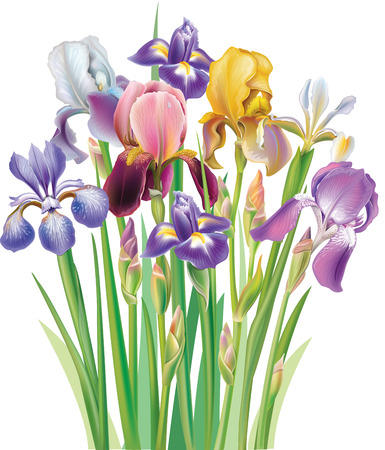 Bouquet of Iris flower Vector