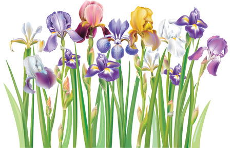 flower arrangement: Border of multicolor Iris flowers Illustration