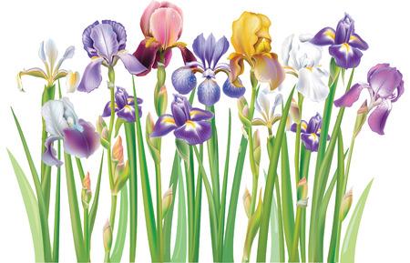arreglo de flores: Frontera de multicolores flores Iris