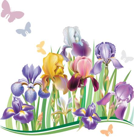 iris: Seamless pattern with Iris  Illustration