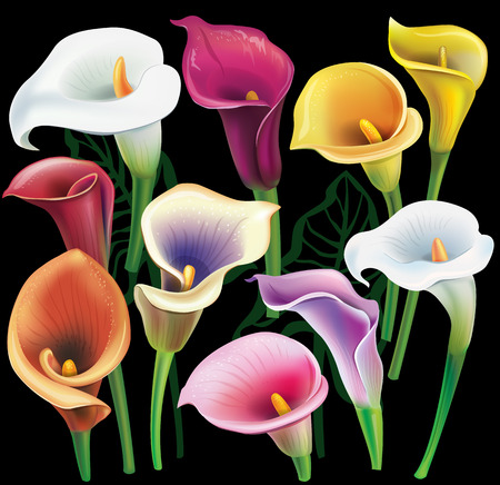 colors: Calla flowers set in different colors Illustration