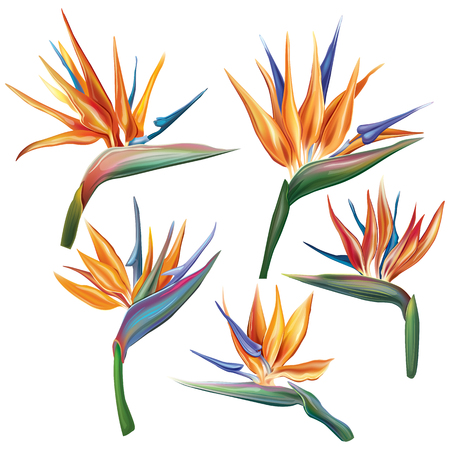 Strelitzia reginae (Ave del paraíso) flor Ilustración de vector