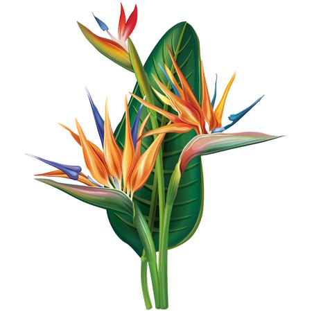 ave del paraiso: Strelitzia reginae flor en blanco Vectores