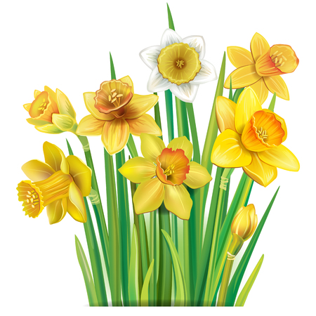 Bouquet of yellow daffodils on the white background