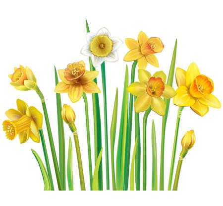 Gelbe Narzissen auf einem weißen Hintergrund Standard-Bild - 95040881