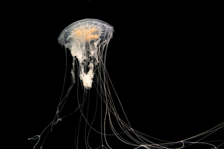 jelly fish: Dancing jelly fish