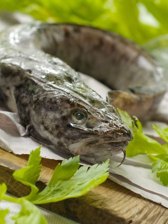 burbot: Fresh whole burbot with head on board