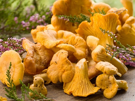 chanterelle: fresh chanterelle mushrooms. selective focus