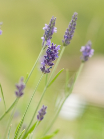 lavande: Branches of flowering lavender, selective focus, shallow depth