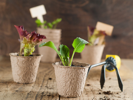 pea shrub: Vegetable seedlings on wooden table selective focus.