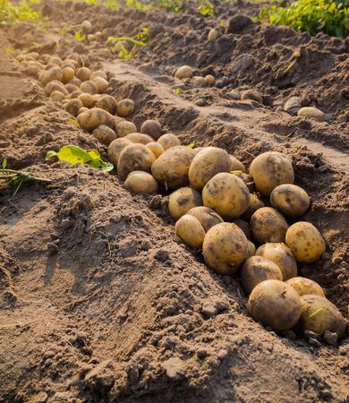 Frische Bio-Kartoffeln auf dem Gebiet Standard-Bild - 54497766