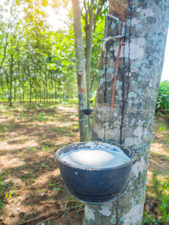 extracted: Milky latex extracted from rubber tree (Hevea Brasiliensis) as a source of natural rubber ,Rubber Latex of rubber trees.