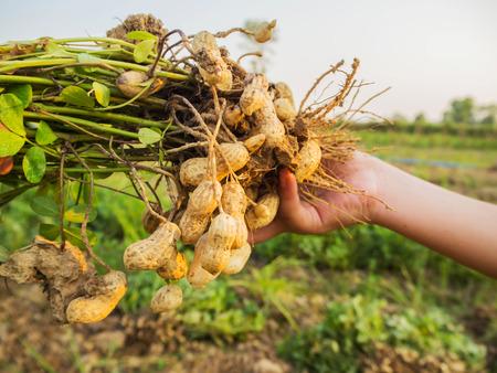 farmer harvest peanut on agriculture plantation., Fresh peanut, peanut trees, fresh peanuts plants with roots.