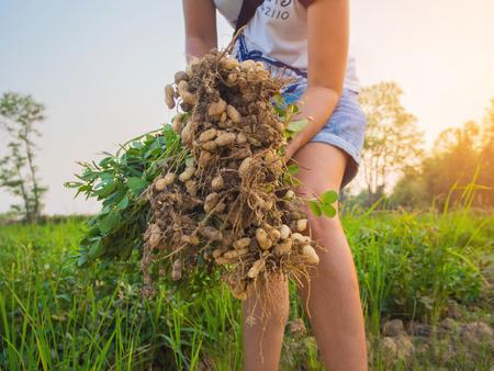 earth nut: farmer harvest peanut on agriculture plantation, Harvest of Plants, fresh.