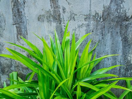 pandanus: Pandan Leaves , Thai Herb