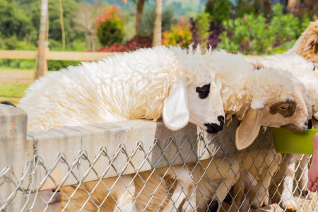 farm Group of sheep in farm.Sheep farm outdoor Stock Photo