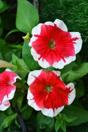 Red and white flower photo