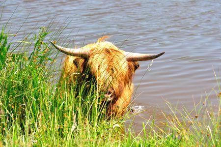 Scottish cattle Stock Photo
