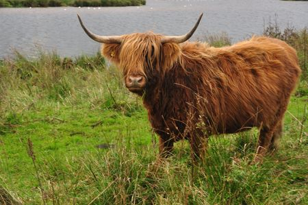 a higland cattle looking into the camera