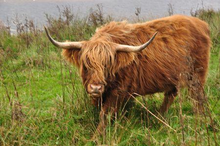 un bovin higland regardant dans la cam�ra Banque d'images