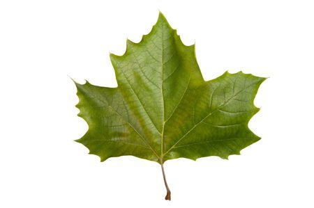 Single maple leaf isolated on a white bakground